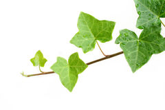 Ivy. An ivy plant against a white background.  Room for your text Royalty Free Stock Photos