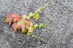 Ivy. Grows on the concrete wall Stock Photos