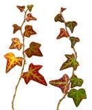 Ivy Stock Image