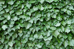 Ivy. See green ivy as background Stock Photos