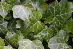 Ivy. The green ivy in the forest Royalty Free Stock Photos