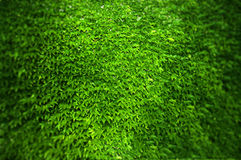 Ivy. A wal coveredl with thousands of green lush ivy leaves Royalty Free Stock Photo