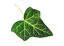 Ivy Royalty Free Stock Photo