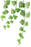 Ivy. Twigs isolated on white Stock Photography