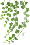 Ivy. Branches isolated on white Royalty Free Stock Photos