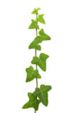 Ivy. Branch isolated on white Stock Photos