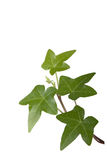 Ivy Royalty Free Stock Images
