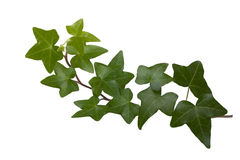 Ivy. Green ivy isolated on white background, studio shot Stock Image