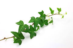 Ivy Stock Photography