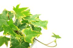 Ivy. I took ivy in a white background Stock Images