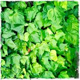 Ivy Royalty Free Stock Photos