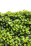 ivy Foto de Stock Royalty Free