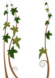 Ivy. Illustration of the stalks of ivy Royalty Free Stock Images