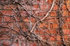 Ivy. Dead ivy vines against brick wall Stock Image