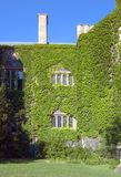 Ivy. Wall of old building, covered by ivy in sunlite Stock Images