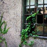 ivy Fotografia Stock
