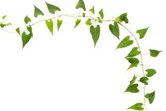 Ivy. The ivy plant with white background stock image