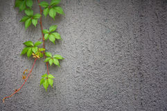 Ivy against wall Stock Photo