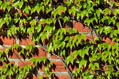 Ivy on the ancient brick wall Stock Photo