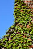 Ivy on the ancient brick wall Royalty Free Stock Photos