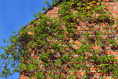 Ivy on the ancient brick wall Royalty Free Stock Image