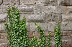 Ivy on ancient wall Royalty Free Stock Photo