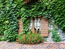 Ivy around a window Stock Image