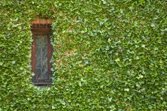 Ivy around window Stock Photography
