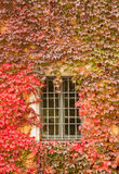 Ivy around window in Germany Royalty Free Stock Photos