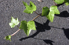 Ivy on Asphalt Royalty Free Stock Photos