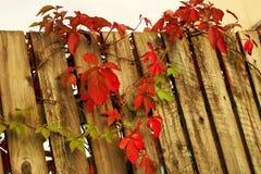 Ivy. Autumn hedge on the fence Stock Photos