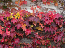 Ivy that autumn leaves in the fal Royalty Free Stock Photos
