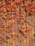 Ivy that autumn leaves on the wall Royalty Free Stock Photo