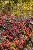 Ivy that autumn leaves on the wall Royalty Free Stock Images