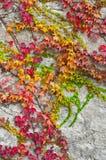 Ivy in autumn Stock Photos