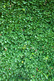 Ivy background Stock Images