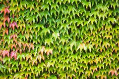 Ivy background Royalty Free Stock Photos