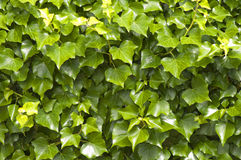 Ivy background Royalty Free Stock Photo