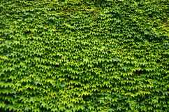Ivy Background Royalty Free Stock Images