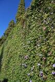 Ivy Background Lizenzfreies Stockfoto