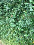 Ivy background. Green Ivy background Stock Images