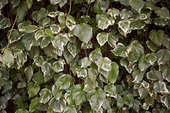 Ivy background Royalty Free Stock Image