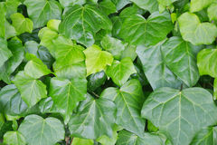 Ivy background Stock Image
