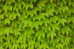 Ivy background Royalty Free Stock Photography