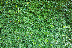 Ivy background high resolution Royalty Free Stock Photo
