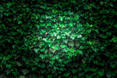 Ivy background Stock Photography