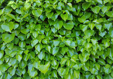 Ivy Background Stock Photos