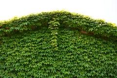 Ivy/background Royalty Free Stock Photo