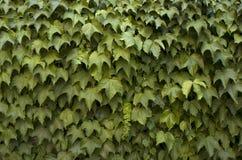 Ivy background Stock Photos