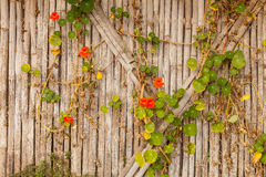 Ivy on bamboo Royalty Free Stock Image